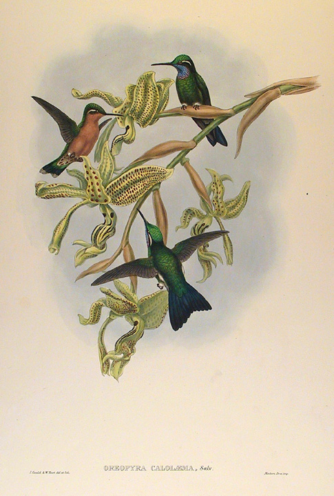 the old print gallery has an extensive collection of hummingbird prints by john gould john gould 1804 1881 was an english ornithologist and bird artist