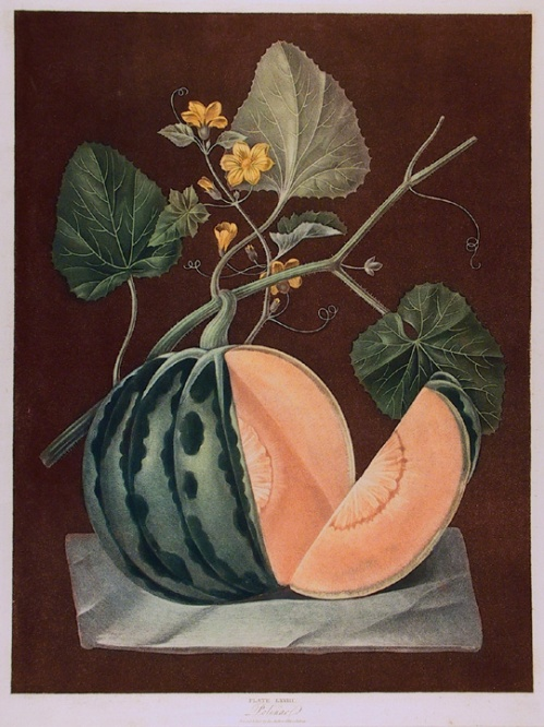 "Polinac, plate LXVIII. By George Brookshaw. Printed & pub. by the Author, G. Brookshaw. Aquatint and stipple engraving printed in color and finished by hand, 1804-12. From ""Pomona Britannica; or a Collection of the most esteemed fruits....""  $5,500.00"