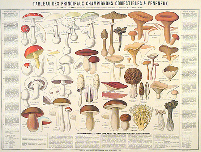 Tableau des Principaux Champignons Comestibles & Veneneux. By A. D'Apreval. Published in Paris by the Librairie des Sciences Naturalles, Paul Klincksieck, Editeur. Chromolithograph, undated. This is a fascinating poster describing edible and poisonous mushrooms. Thirty mushrooms are shown at various stages, with descriptive French text along sides and bottom. $385.00
