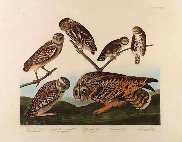 Burrowing Owl, Columbian Owl, European Little, Pygmy Owl, Short-eared Owl  PL. 432. John James Audubon. Aquatint and engraving, 1838.