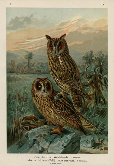 Asio otus (L.).  Waldohreule.  1 Mannchen.  Asio accipitrinus (Pall.).  Sumpfohreule. 2 Mannchen.  [Long-eared Owl / Short-eared Owl].  Published by Gera-Umterhaus. Chromolithograph. 1896-1905. $90.00