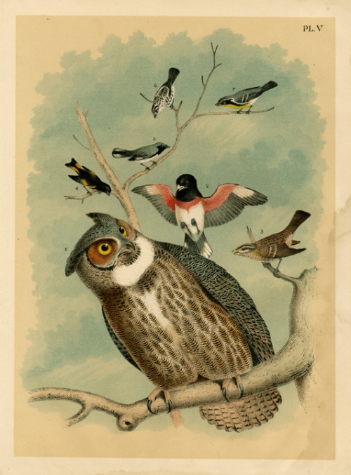 "Pl. V (owl and other birds). By Theodore Jasper. Published by Jacob H. Studer Co., Colombus, OH. Chromolithograph, 1878. From ""Popular Ornithology, The Birds of North America"" by Jacob H. Studer. $75.00"