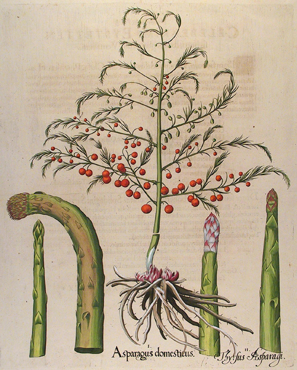 "Asparagus domesticus. Thyrsus Aasparagi. Basilius Besler. Engraving handcolored, 1613. Paper size about 22 x 17 7/8"" (565 x 455mm). Good condition with later hand color."