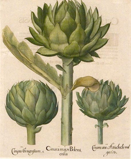 "Cinara major Boloniensis, Cinara Genuensium, Cinara seu Artischochi vulgatior. (Artichoke). Basilius Besler. Engraving, hand colored. 1618-c.1640. Sheet size 20 3/8 x 17"" (520 x 432  mm). Overall good condition.  Currently located at The Old Print Shop in NYC."