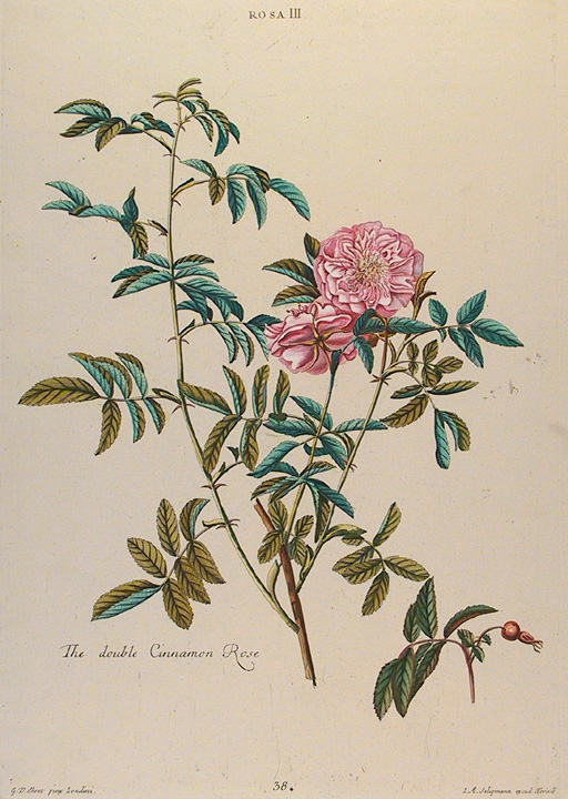"Rosa. III. The double Cinnamon Rose. By Georg Dionysius Ehret. Published by Seligman and Wirsing, Nuremberg. Copper plate engraving, hand colored, 1750-86. Plate mark 16 3/4 x 11 3/4"" (423 x 300 mm)."