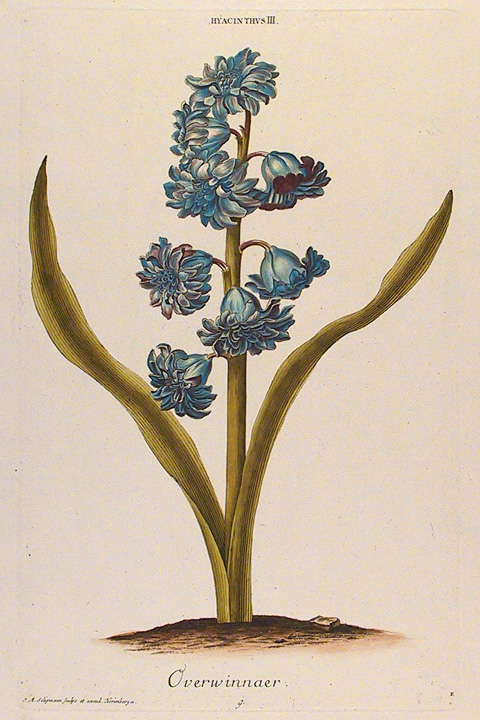"Hyacinthus. III. Overwinnaer. Published by Seligman and Wirsing, Nuremberg.  Copper plate engraving, hand colored, 1750-86. Plate mark 14 3/8 x 9 1/8"" (365 x 231 mm). Engraved by J. M. Seligmann. LINK."