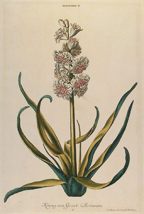 "Hyacinthus. II. Koning van Groot Britanien. Published by Seligman and Wirsing, Nuremberg. Copper plate engraving, hand colored, 1750-86. Plate mark 14 3/8 x 9 1/8"" (365 x 231 mm). Engraved by J. M. Seligmann. LINK."