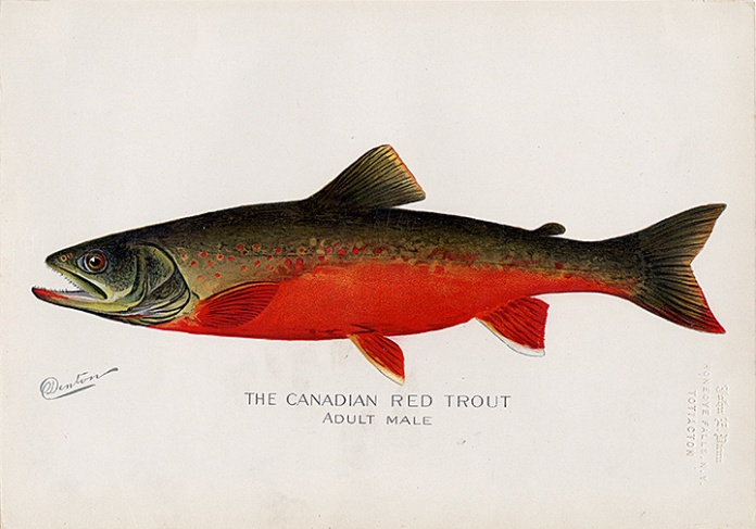 "The Canadian Red Trout.  (Adult Male). By Sherman F. Denton. Chromolithograph, 1895-1909. From the New York State report titled ""Fish and Game of the State of New York."""