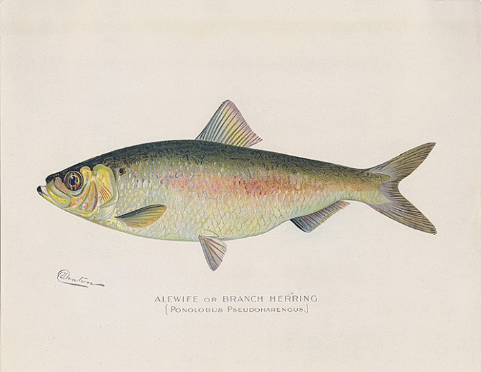 "Alewife or Branch Herring.  {Pomolobus Pseudoharengus}. By Sherman F. Denton. Chromolithograph, 1895-1909. From the New York State report titled ""Fish and Game of the State of New York."""