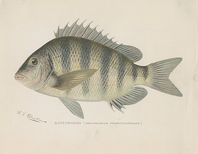 Sheepshead.  (Archosargus Probatocephalus). By Sherman F. Denton. Chromolithograph, c.1900. Published by the Forest, Fish and Game Commission.