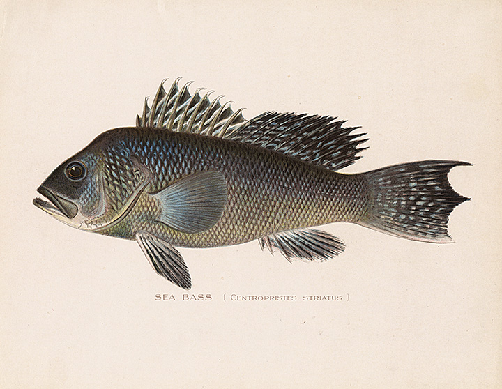 Natural history prints the old print gallery blog for New york state fish