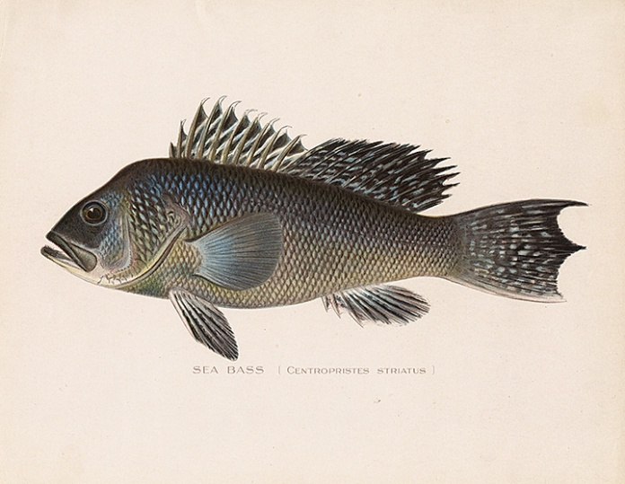 "Sea Bass. (Centropristes Striatus.) By Sherman F. Denton. Chromolithograph, 1895-1909. From the New York State report entitled ""Fish and Game of the State of New York."""