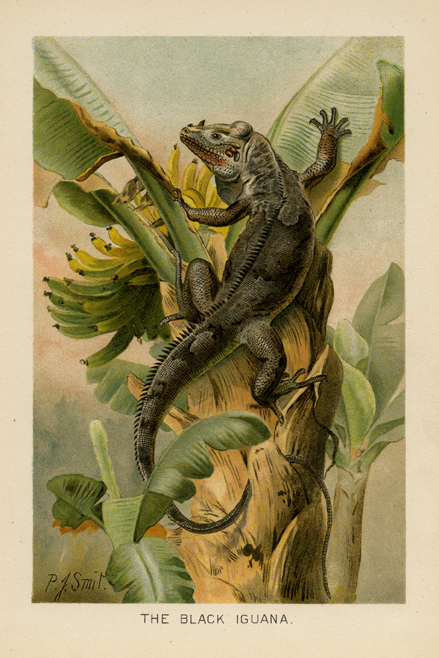 """The Black Iguana. By P. J. Smit. Chromolithograph, 1904. Published in Saalfield, New York. From """"Library of Natural History"""" by Richard Lydekker. LINK."""