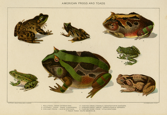 American Frogs and Toads. Lithographed by Julius Bien & Co. Lith.  N.Y.  Published by Todd, Mead & Co., New York. Chromolithograph, 1902. Several types of frogs and toads are pictured. LINK.