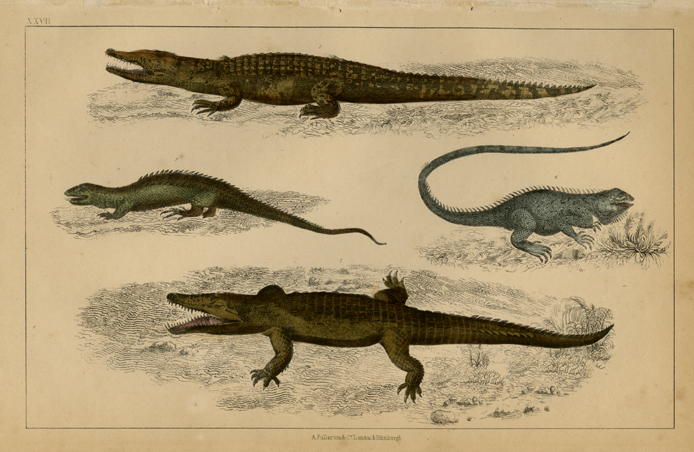 "Untitled. XXVII. (Aligator, crocodile and two large lizards). Published by A. Fullarton, London and Edinburgh. Engraving with original hand-color, 1854. A natural history print from Oliver Goldsmith's ""A History of the Earth and Animated Nature."" This edition is distinguished by having the birds and animals displayed in full color against a black-and-white background. LINK."