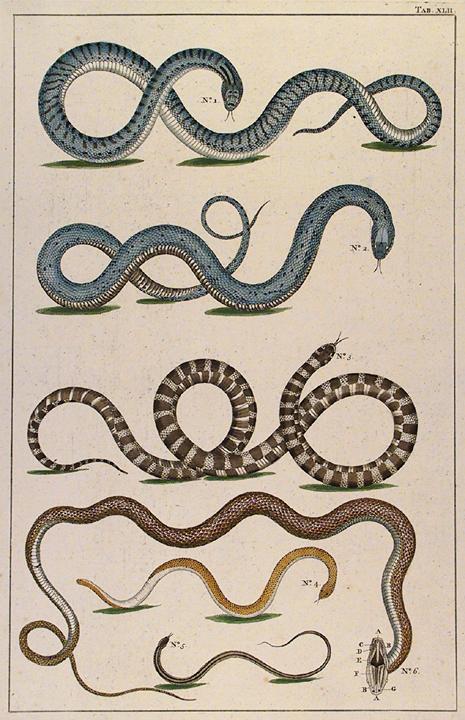 Untitled Snake, Tab. XLII. By Albertus Seba. Published in Amsterdam. Hand-colored copper plate engraving, 1734-65. From Locupletissimi Rerum Naturalium Thesauri Accurata Descripto Et Iconibus Artificiosissmis Expressio... LINK.