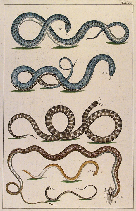 Untitled Snake, Tab. XLII. By Albertus Seba. Published in Amsterdam. Hand-colored copper plate engraving, 1734-65. From Locupletissimi Rerum Naturalium Thesauri Accurata Descripto Et Iconibus Artificiosissmis Expressio... LINK.