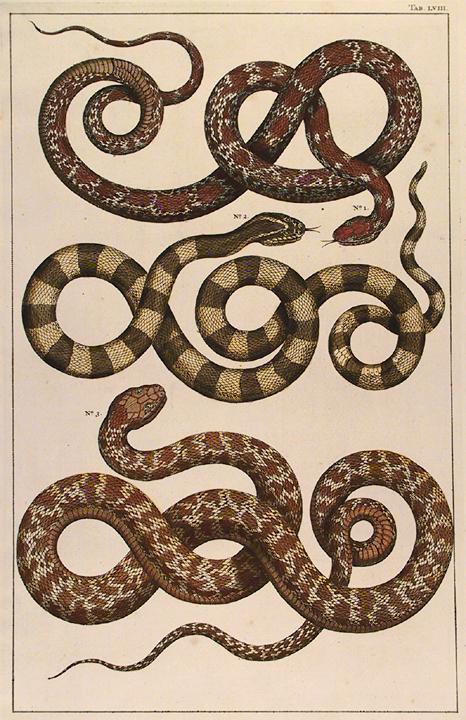 "Untitled Snake, Tab. LVIII. By Albertus Seba. Hand-colored copper plate engraving, 1734-65. Published in Amsterdam. From ""Locupletissimi Rerum Naturalium Thesauri Accurata Descripto Et Iconibus Artificiosissmis Expressio..."" LINK."