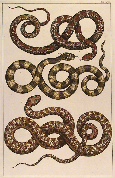 "Untitled Snake, Tab. LVIII. By Albertus Seba. Hand-colored copper plate engraving, 1734-65. Published in Amsterdam. From ""Locupletissimi Rerum Naturalium Thesauri Accurata Descripto Et Iconibus Artificiosissmis Expressio..."" LINK."