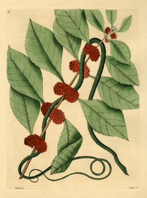 Anguis niger, maculis rubris & luteis eleganter varius: The Bead Snake; Convolvulus Radice tuberoso esculento: The Virginian Potato. By Mark Catesby. Hand-colored engraving, 1800.  T. 60. From, 'The Natural History of Carolina, Florida, and the Bahama Islands: Containing Figures of Birds, Beasts, Fishes, Serpents, Insects and Plants:…' Engravings by Mark Catesby, published in London. LINK.