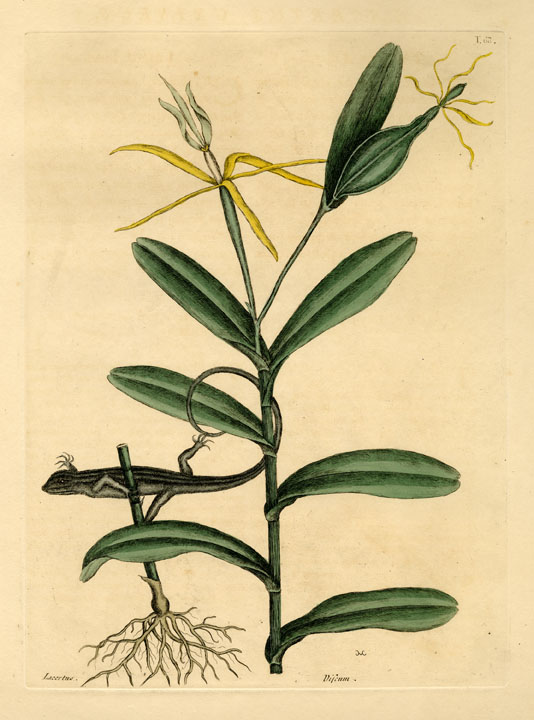 Lacertus Griseus: The Lyon Lizard; Viscum Caryophylloides, foliis longis in apice incisis, floris labello albo trifido, petalis luteis, longis augustissimis. By Mark Catesby. Hand-colored engraving, 1800.  T. 68. From, 'The Natural History of Carolina, Florida, and the Bahama Islands: Containing Figures of Birds, Beasts, Fishes, Serpents, Insects and Plants:…' Engravings by Mark Catesby, published in London. LINK.