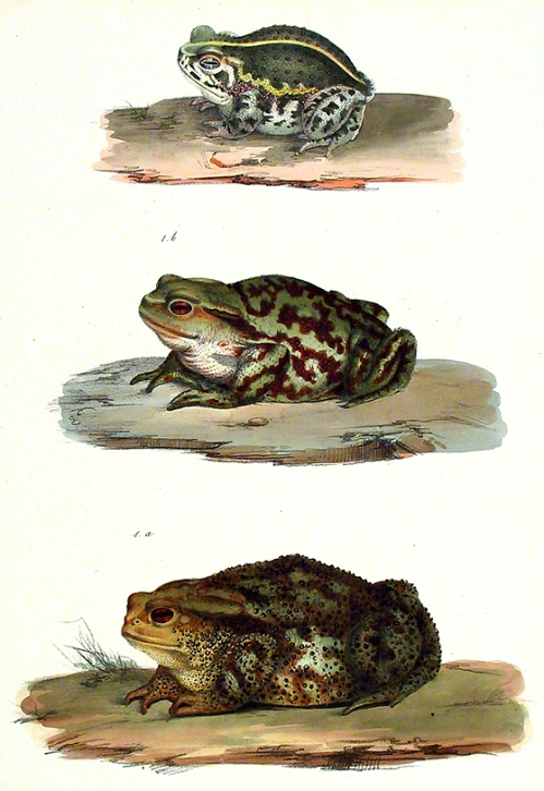Bufo Vulgaris. Bufo Calamita.  Lithograph by Zanetti after Petrus Quattrocchi. From Iconographi della Fauna Italica by Carlo L. Principe Bonaparte. Published by Tipographia Salviucci, Rome, 1832-41. Highly detailed illustrations of three toads, one poisonous. LINK.