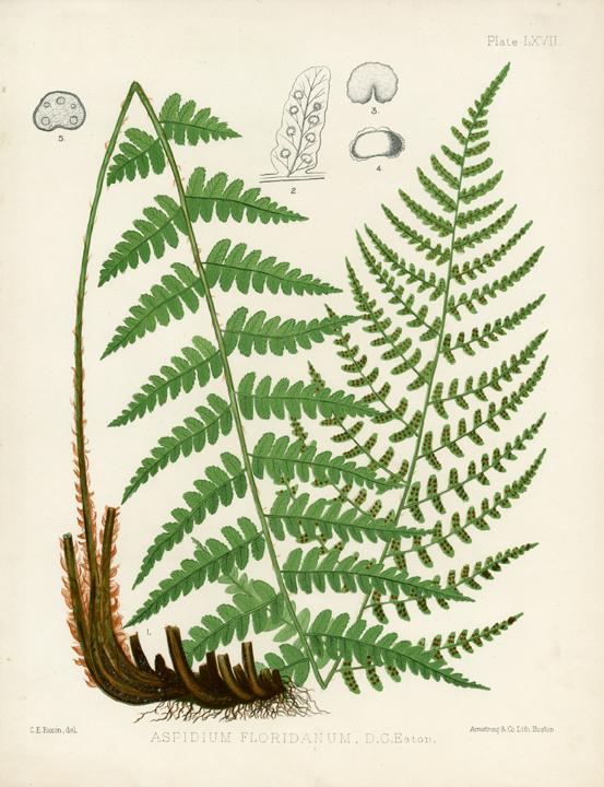 Eaton Fern Plate LXVII. Aspidium Floridanum. LINK.