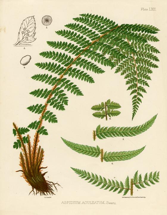 Eaton Fern Plate LXII. Aspidium Aculeatum. LINK.