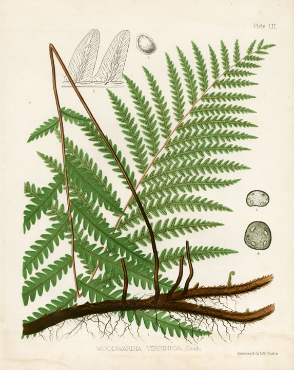 Eaton Fern Plate LII. A Woodwardia Virginica fern. LINK.