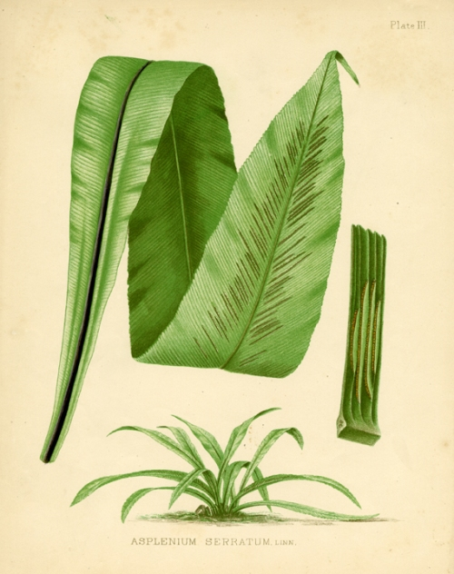 Eaton Fern Plate III. Asplenium Serratum fern. LINK.