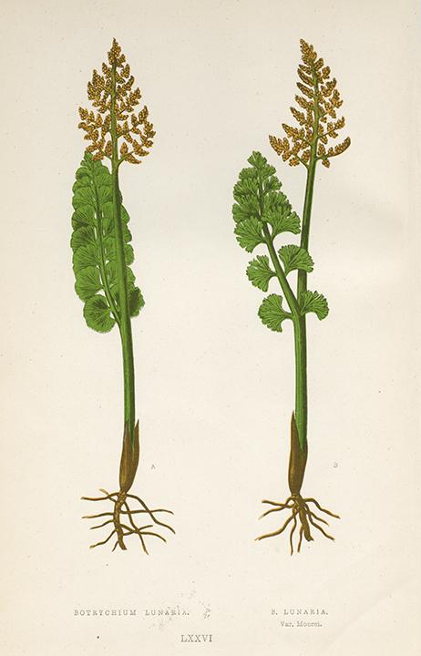 Plate LXXVI. Botrychium Lunaria and B. Lunaria (Var. Moorei). LINK.