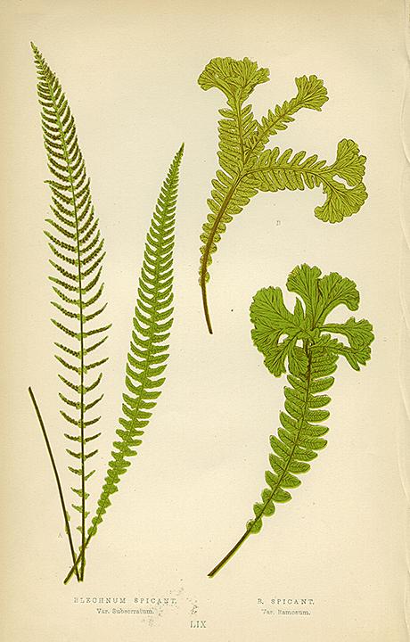 Plate LIX. Bleachnum Spicant (Var. Subserratum) and B. Spicant (Var. Ramosum). LINK.