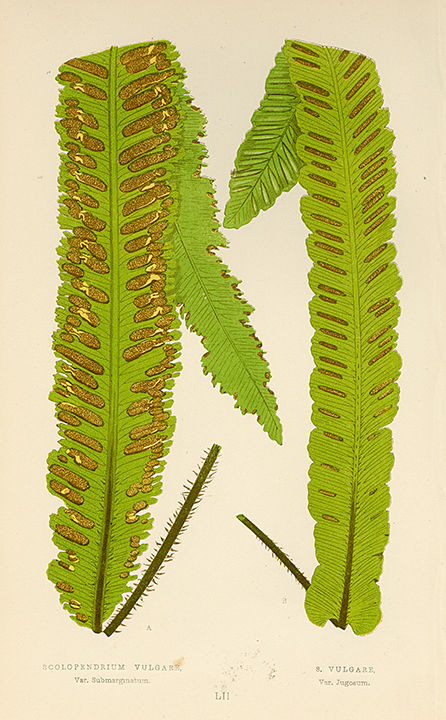 Plate LII. Scolopendrium Vulgare (Var. Submarginatum). S. Vulgare (Var. Jugosum) . LINK.