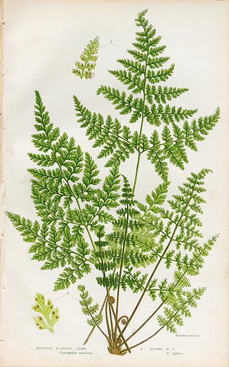 1. Mountain Bladder Fern. (Cystopteris montana) 2. Alpine B. F. (C. alpina). LINK.