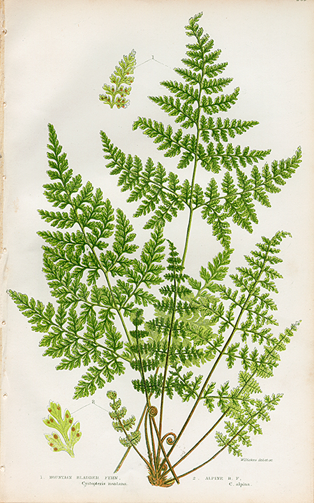 1. Mountain Bladder Fern. (Cystopteris montana) 2. Alpine B. F. (C. alpina). LINK.