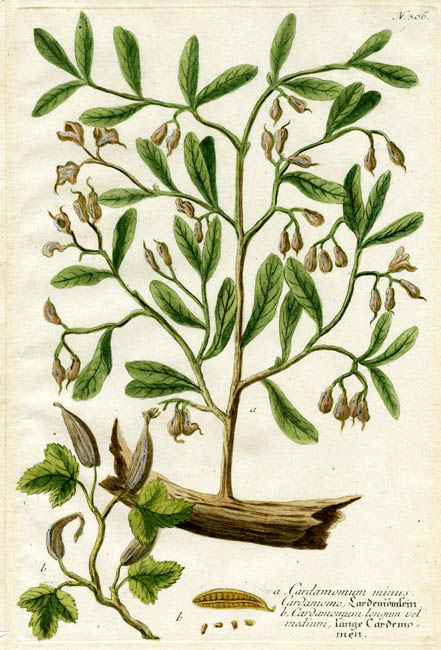 a. Cardamomum munis Cardamoe. b. Cardamonum longum vel medium. N. 306. (Cardamom). Johann W. Weinmann. Published Amsterdam and Ratisbon. Copper engraving printed in color and finished by hand, 1736-45. Average platemark 12 3/4 x 8 inches. LINK. From Johann Wilhelm Weinmann's Phytanthoza Iconographia. This beautiful work provides a nearly complete record of the flowers, fruits and vegetables cultivated in the early 18th century. The plates are among the earliest examples of color printing from a single plate.