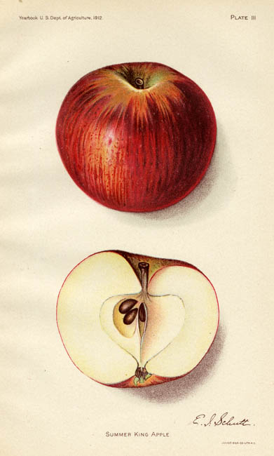 "Summer King Apple. Plate III. E. I. Schutt. Published by the U.S. Dept. of Agriculture. Chromolithograph, 1912. Image size 6 1/4 x 3 3/8"" (158 x 85 mm). LINK.  Lithographed by Julius Bien Co. Lith. From the USDA Yearbook. A beautiful chromolithograph of an apple, with a cross section of the apple below."
