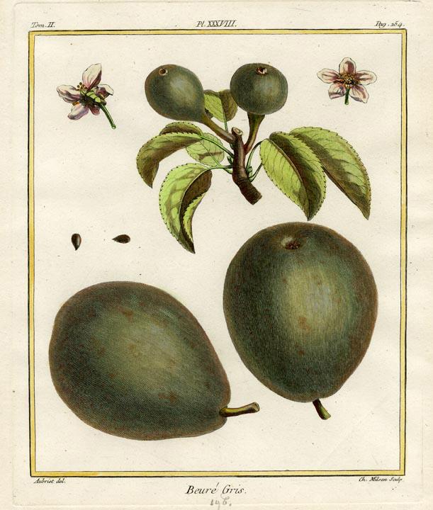 """Beure Gris. Tome II. Pl. XXXVIII. By Henri Duhamel Du Monceau. Published Paris. Engraving, handcolored, 1768. Image size 9 x 7 1/2"""" (223 x 190 mm). LINK."""