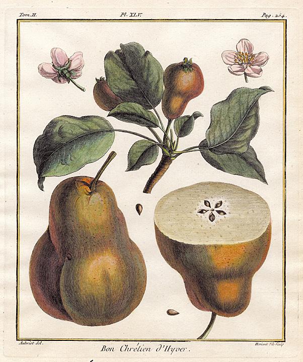 """Bon Chretien d'Hyver.Tome II. Pl. XLV. By Henri Duhamel Du Monceau. Published Paris. Engraving, handcolored, 1768. Image size 9 1/4 x 7 3/4"""" (237 x 197 mm). LINK."""