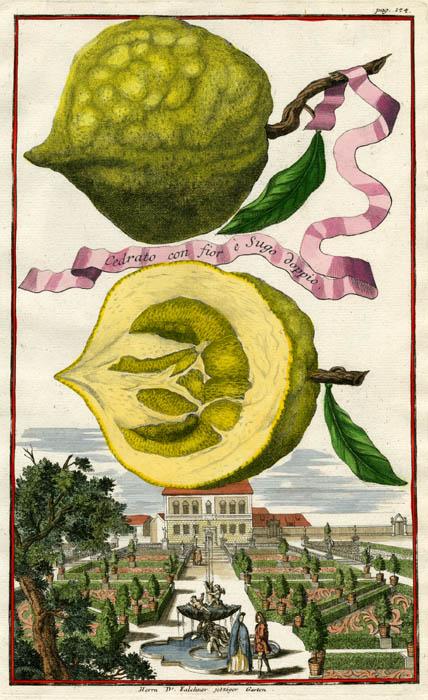 """Cedrato con fior e Sugo doppio. Page 174. Johann C. Volckamer. Published Nuremberg. Copper plate engraving, hand-colored, 1708-14. From Volckamer's """"Nurmbergische Hesperides"""". LINK."""