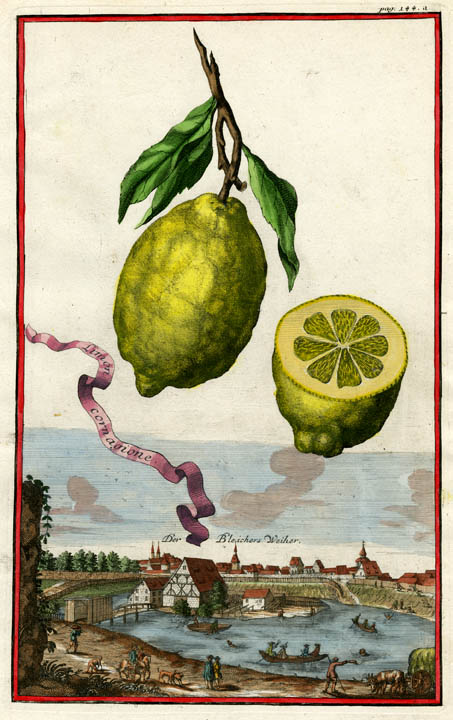 "Limon cornagione. Page 144a. Johann C. Volckamer. Published Nuremberg. Copper plate engraving, hand-colored, 1708-14. From Volckamer's ""Nurmbergische Hesperides"". LINK."