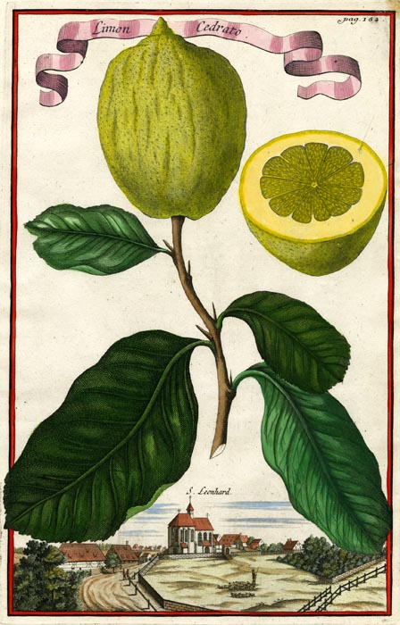 "Limon Cedrato. Page 162. Johann C. Volckamer. Published Nuremberg. Copper plate engraving, hand-colored, 1708-14. From Volckamer's ""Nurmbergische Hesperides"". LINK."
