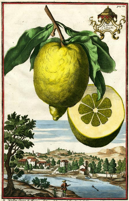 "Limon Cedrato. Page 68. Johann C. Volckamer. Published Nuremberg. Copper plate engraving, hand-colored, 1708-14. From Volckamer's ""Nurmbergische Hesperides"". LINK."