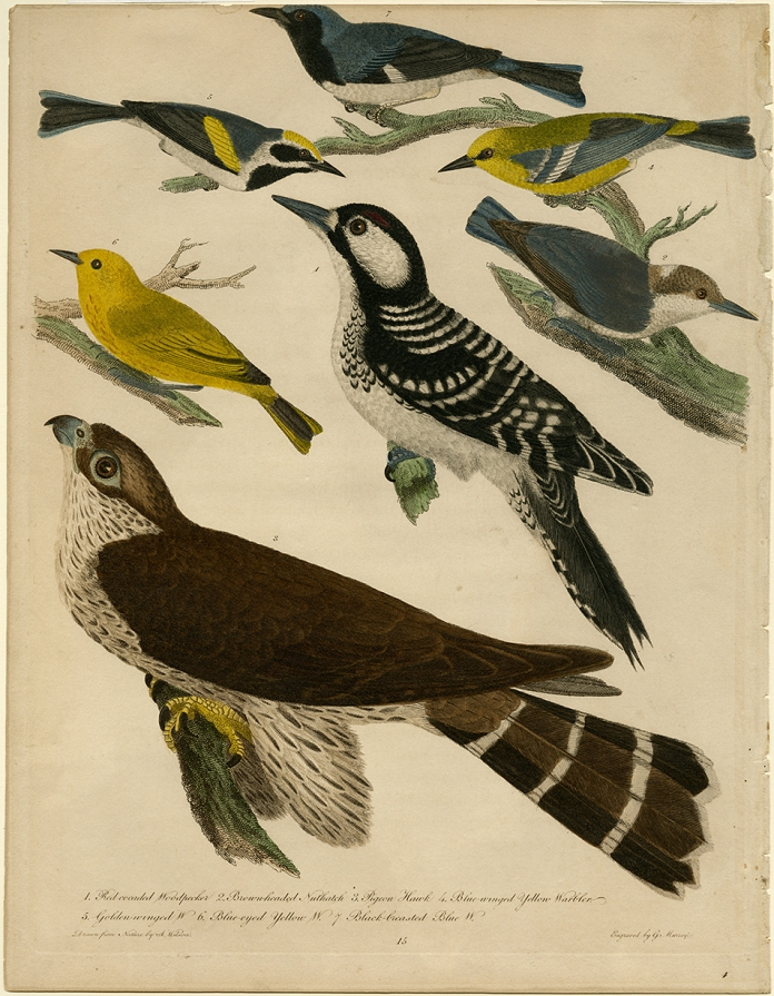 1. Red cocaded Woodpecker 2. Brown-headed Nuthatch  3. Pigeon Hawak  4. Blue-winged Yellow Warbler  5. Golden-winged W.  6. Blue-eyed Yellow W.  7. Black-brested Blue W.  Alexander Wilson. Engraving, hand colored, 1808-14. Paper size 13 1/4 x 10 1/4