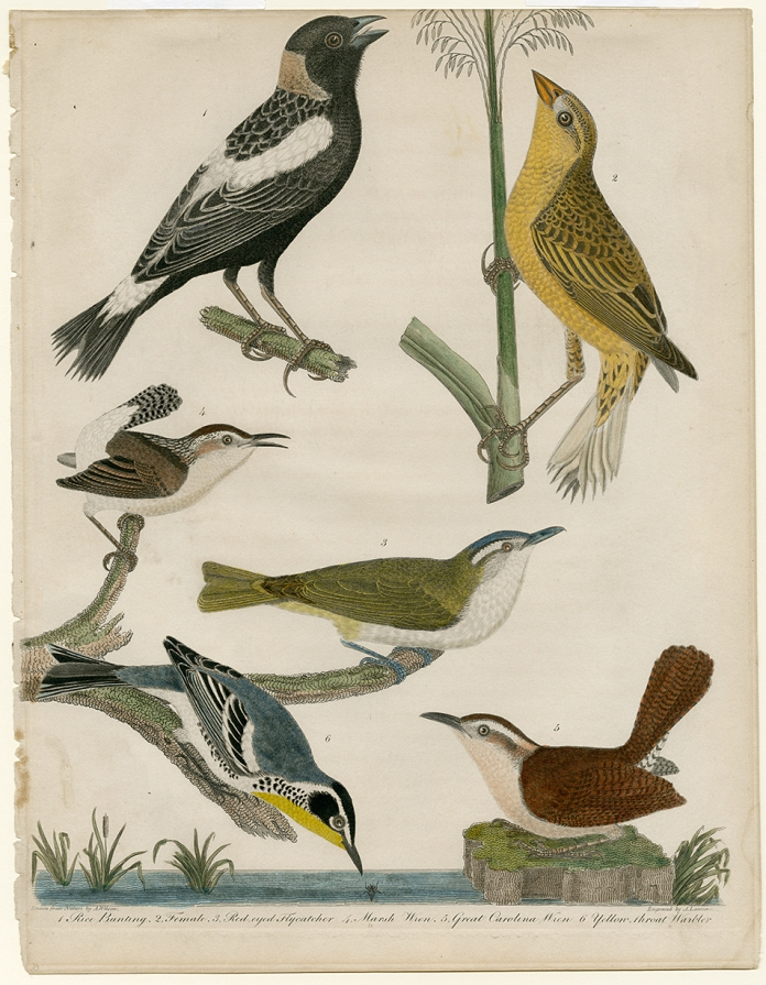 1. Rice bunting. 2. Female. 3. Red-eyed Flycatcher. 4. Marsh Wren. 5. Great Carolina Wren. 6. Yellow-throat Warbler. Alexander Wilson. Engraving, hand colored, 1808-14. Paper size 13 1/4 x 10 1/4