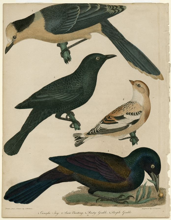 1. Canada Jay, 2. Snow Bunting, 3. Rusty Grakle, 4. Purple Grakle Alexander Wilson. Engraving, hand colored, 1808-14. Paper size 13 1/4 x 10 1/4