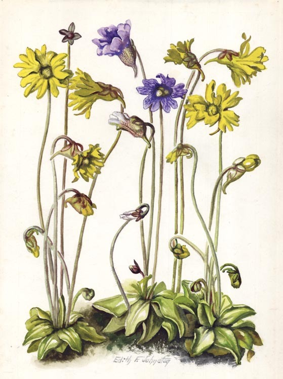 "Bog Violet, Butlerwort, Pinquicula lutea, P. elatior, Mill Crk. Rd. Mar. 7, 1957. A&T Gleason. Edith Johnston. Watercolor on paper, 1957. Paper size 13 7/8 x 9 3/4"" (353 x 248 mm). Titled in pencil. Signed Edith E. Johnston. LINK."