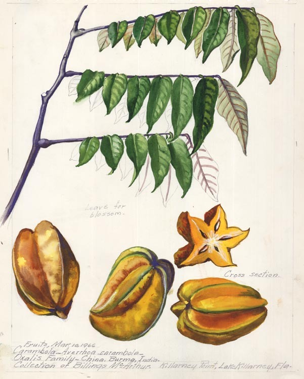 "Carambola - Averrhoa carambola. Oxalis Family - china. Burma, India. collection of Billings McArthur. Killarney Point, Lake Pillarney, Fla. Edith Johnston. Watercolor on paper, 1955. Paper size 13 3/4 x 10 3/4"" (349 x 275 mm). Titled and dated at upper paper edge in pencil. Pencil notes in image. LINK."