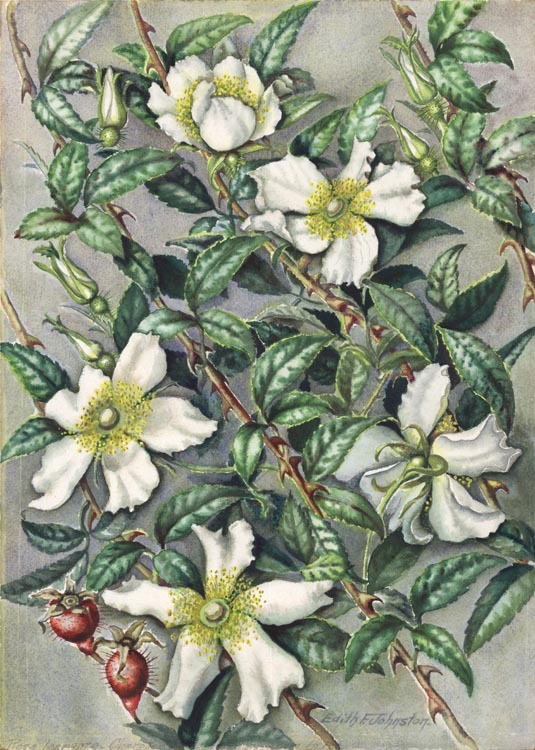 "Rosa Laevigato. Cherokee Rose. Edith Johnston. Watercolor on paper, undated circa 1965. Paper size 13 3/4 x 10 3/4"" (349 x 275 mm). Titled in penci at lower paper edge. Signed in image. LINK"