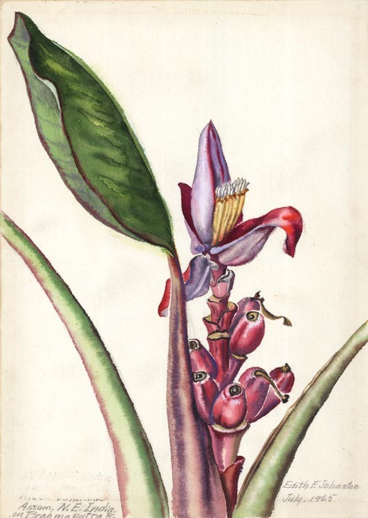 "Assam, N. E. India, on Brahmaputra R. Edith Johnston. Watercolor on paper, July, 1965. Paper size 13 3/4 x 10 3/4"" (349 x 275 mm). Titled in pencil at lower paper edge. Plant identification has been erased - it appears that this was done for a presentation (framing for a show). Signed and dated in image. LINK."